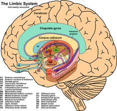 The limbic system is not just one part of the brain but contains many different parts of the brain, creating a system. These multiple brain structures are located above the brainstem, under the cortex.