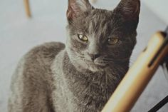 Misty #cat #russianblue