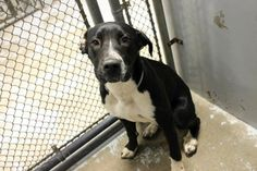I'M SCREAMING HERE - START NETWORKING THIS BABY!! NO SHARES! MUST BE NETWORKED NOW!!! ***7/1/14 LISTED VIA FB @ GREENVILLE HIGH KILL URGENT!!!***Honest John: Beautiful retriever mix available July 2 at high-kill SC shelter