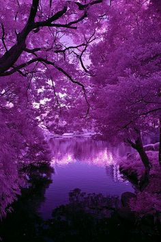 Purple flowering trees & beautiful lake/water..