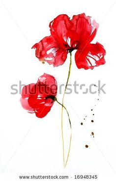 stock photo : Watercolor Illustration of red poppy flower on white. Painted by photographer