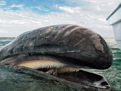 Baleia-cinzenta no México - Papéis de parede