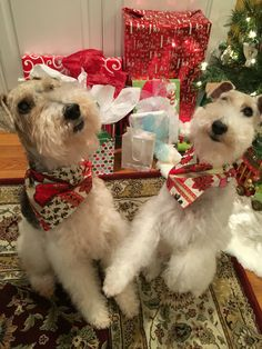 we were good this year look at all the gifts Santa brought… Fox Terriers, Wirehaired Fox Terrier, Wire Fox Terrier, Airedale Terrier, Cute Puppy Pictures, Dog Pictures, Animal Pictures, Beautiful Dogs, Animals Beautiful