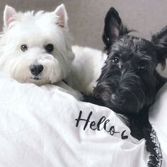 Westie Puppies, Cute Dogs And Puppies, Westies, I Love Dogs, Doggies, Scottish Terrier, West Highland Terrier, Australian Shepherds, Rottweiler