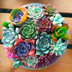 Colorful Succulents, Cacti And Succulents, Planting Succulents, Planting Flowers, Succulents Wallpaper, Succulents Drawing, Propagating Succulents, Succulent Seeds, Succulent Gardening
