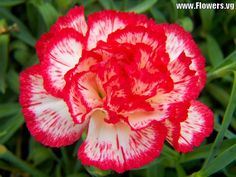 White Carnations can be ' colored' by adding food coloring to the vase water. Description from hubpages.com. I searched for this on bing.com/images
