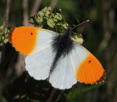 Auroraperhonen (Anthocharis cardamines) Beautiful Butterflies, Insects, Cute Animals, Butterfly, Flowers, Sunrises, Pretty Animals, Cutest Animals, Cute Funny Animals