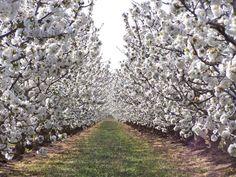 Una tesis doctoral concluye que se pueden cultivar cerezos con garantías de éxito en la Región de Murcia