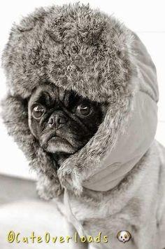 Eskimo pug