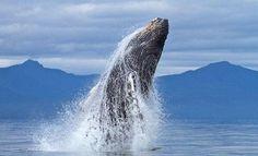 Humpback whale @SWildlifepics
