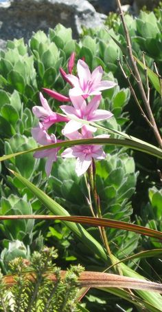 Watsonia humilis Plants, King Protea, Botanist, Fynbos, Trees To Plant, Flowers, Floral, Lily