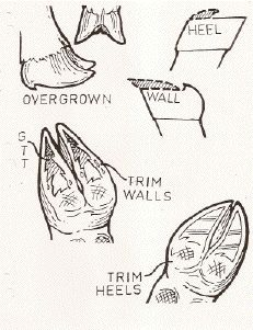 Diagram of a Goat Hoof- Good reference for trimming hooves.
