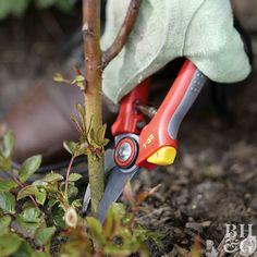 Rose pruning, gardening, roses