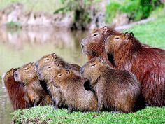 Capivara A capivara, também chamada de carpincho e capincho, é uma espécie de mamífero e o maior roedor do mundo. Habita regiões úmidas da América do Sul.