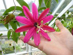 Passiflora antioquiensis, une plante belle et rare ! http://www.alsagarden.com/blog/passiflora-antioquiensis-une-plante-belle-et-rare/