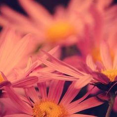 #BLOSSOMS by Rolf Bökemeier #Photocircle #nofilter #photoart #flowers #naturephotography #summer #pink #asteraceae #petals #nature #beauty #flora  #Closethecircle - if you buy this photo Rolf Bökemeier and Photocircle #donate 13% towards our project for #refugees in #Germany