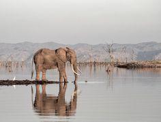 """""""Elephant"""" by Caroline de Kock https://gurushots.com/carolinedk/photos?tc=2f714573798c4445d3810149174a9e47"""