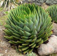 beautiful! Aloe polyphylla | Spiral Aloe| plant lust