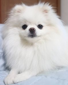 Marvelous Pomeranian Does Your Dog Measure Up and Does It Matter Characteristics. All About Pomeranian Does Your Dog Measure Up and Does It Matter Characteristics. Pomeranian Facts, Cute Pomeranian, I Love Dogs, Cute Dogs, Save A Dog, Dog Gifts, Cute Baby Animals, Beautiful Dogs, Dog Breeds