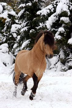 """i will never understand why the buckskin is an """"undesirable"""" color i find them fabulous! and if you get a buckskin colt call me!"""