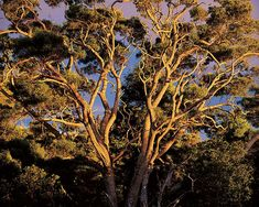 Sunset, Native Koa Trees, Hawaii, by landscape photographer Christopher Burkett. The Ansel Adams of color photography.