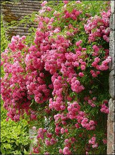 L'opulence d'un rosier contre la pierre à Yèvre le Chatel