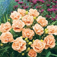 Siloam Peony Display Daylily - WOW Daylilies - Daylily Lovers - A Spring Hill Nursery Store Colorful Flowers, Blue Flowers, Beautiful Flowers, Hawaiian Flowers, Exotic Flowers, Yellow Roses, Fresh Flowers, Beautiful Gardens, Pink Roses