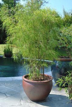 bambus im kübel mediterran stil deko idee pool pflanzen There are lots of issues that Bamboo Containers, Container Plants, Container Gardening, Bamboo In Planters, Bamboo Garden Ideas, Potted Bamboo, Back Gardens, Small Gardens, Outdoor Gardens