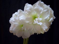 Snow Drift – As you would expect, this multi-petaled variety displays billowy, pure white flowers.