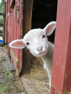 Baby Lamb Farm Animals Cute Pictures At the beginning when he was fed lamb. Part 1 Funny Animal Memes, Funny Animal Pictures, Cute Pictures, Funny Animals, Funny Memes, Hilarious Pictures, Animal Pics, Animal Quotes, Funny Chicken Memes