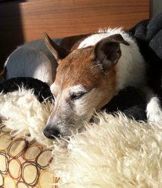 My dog Java, Jack Russel terrier living in Oslo
