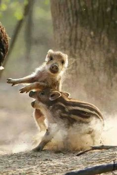 Animals And Pets, Baby Animals, Cute Animals, Cute Piglets, Cute Animal Pictures, Animal Pics, World Birds, Nature Drawing, Wild Boar
