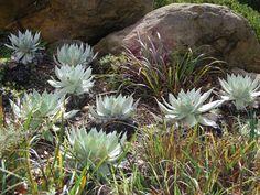 Dudleya brittonii – Giant Chalk Dudleya, Britton's Dudleya - See more at: http://worldofsucculents.com/dudleya-brittonii-giant-chalk-dudleya-brittons-dudleya