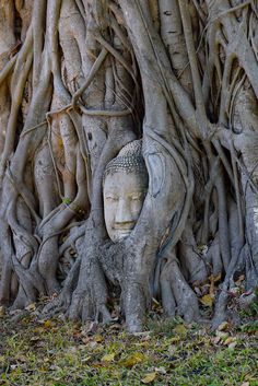 The Buddha Head in Tree Roots of Ayutthaya, Thailand. It's an odd sight. Held so perfectly among the roots of a massive tree, a Buddha head sits for visitors to come and admire.