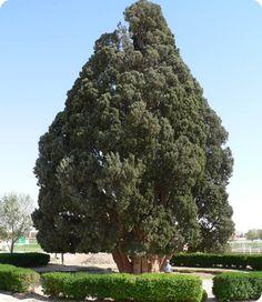 Sarv-e Abar-Kuh (ciprés gigante)  Este gigantesco ciprés vive en Abarkooh, Iran, y ha superado los 4000 años. Tiene una altura de 25 metros, mientras que su circunferencia es de 18 metros. Es la criatura más antigua de Asia.