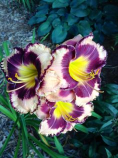 """Day Lily  """"Rock Solid""""    2012 BB    2013 photo"""
