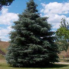 black hills spruce - Google Search