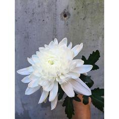 fabulous vancouver florist C H R Y S A N T H E M U M. Chrysanthemum. #anneofgreengables #flowers #governessgeneral by @governessgeneral  #vancouverflorist #vancouverflorist #vancouverwedding #vancouverweddingdosanddonts