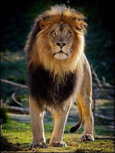 African Lion (Male) King of Beast