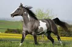 Paint Horse mare Silver Starlet Abby