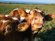 Cows have best friends that they spend most of their time with... 64 Mind-Blowing Facts That Will Make You Feel Incredibly Happy
