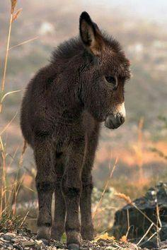 Mini donkey for my mini-farm... so stinkin' cute!!