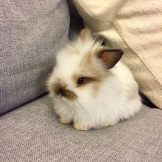 "429 Likes, 10 Comments - @butterscotch_the_bunny on Instagram: ""Baby Butterscotch at 8 weeks old ❤️#bunniesofinstagram #lionheadlop #bunnies"""