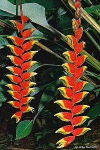Heliconia rostrata - Bananeira-do-brejo, Caetê, Papagaio - inflorescências são sempre pendentes, com o comprimento que varia de acordo com o número de flores. Produz flores durante o ano todo, mas principalmente nos meses mais quentes. Deve ser cultivada a pleno sol ou à meia-sombra.