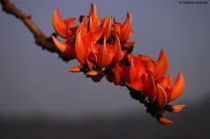 19 Best Bangladesh Flowers images | Flowers, Plants ... Palash Flower Wallpaper