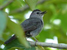 http://faaxaal.forumgratuit.ca/t2315-photo-d-oiseau-moqueur-chat-dumetella-carolinensis-gray-catbird#6554