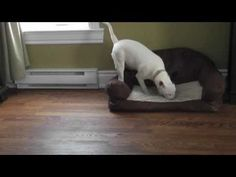 Mini Bull Terrier BULLY RUN !!!!!!!!!!! - YouTube