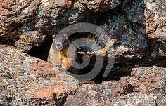 Wild Brave Marmot Hiding in Rocks in the upper high altitude cliffs of the Rocky Mountains in Colorado.
