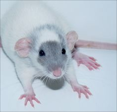 Baby Dumbo Rat. love the gray face   ...........click here to find out more     http://googydog.com