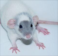 Baby Dumbo Rat. love the gray face